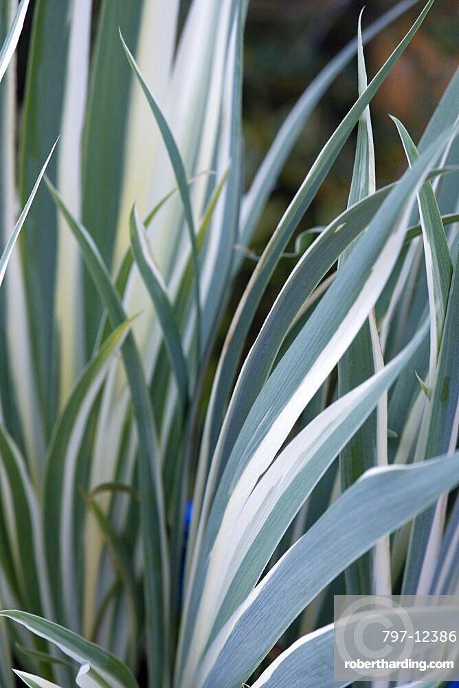 Variegated iris, Iris pallidata variegata, green and white leaves.