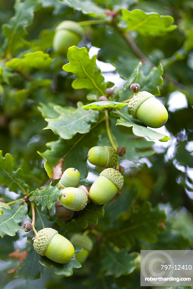 Oak, Quercus robur, Acorns growing on the branches of tree in late summer.