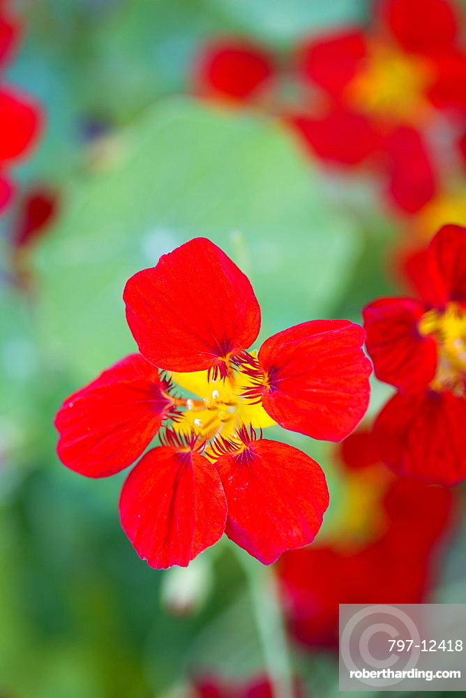 Nasturtium, Tropaeolum majus, red flower isolated in shallow focus against green leaves.