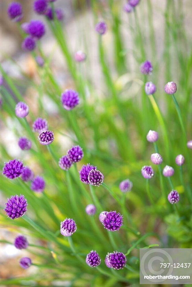 Chives, Allium schoenoprasum, purple flowers on long green stems of the garden herb growing in a garden border.