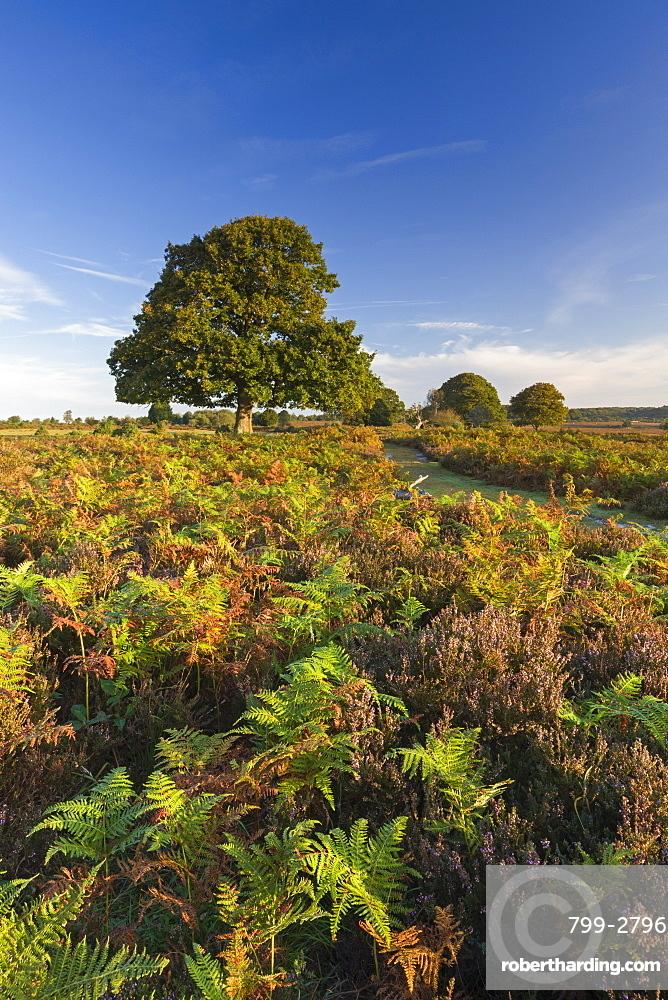 Colourful heathland of the New Forest National Park, Hampshire, England, United Kingdom, Europe