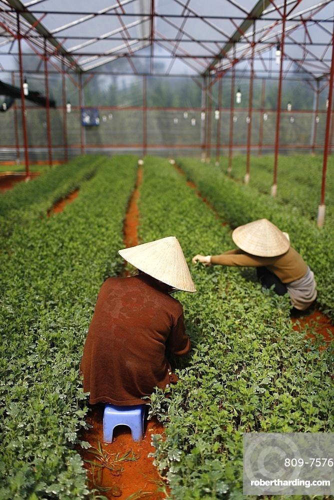 Women working in greenhouse on vegetable farm, Dalat, Vietnam, Indochina, Southeast Asia, Asia
