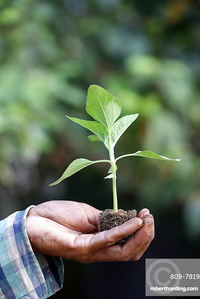 Close-up of farmer's hand holding seedling, Ba Ria, Vietnam, Indochina, Southeast Asia, Asia