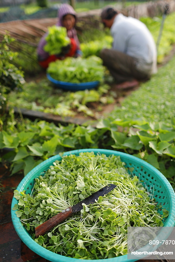 Organic vegetable gardens in Tra Que Village, fresh green herbs in basket, Hoi An, Vietnam, Indochina, Southeast Asia, Asia