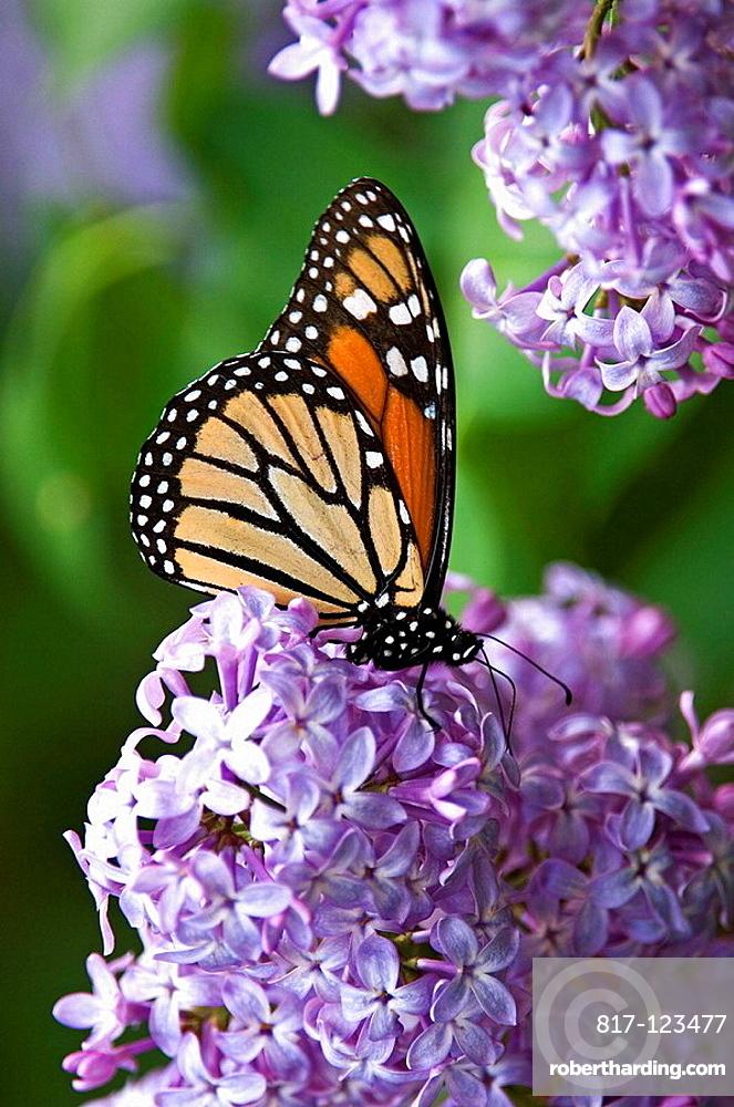 Monarch butterfly (Danaus plexippus) nectaring on lilac flowers