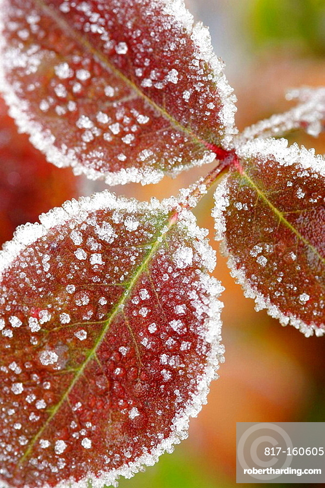 Frost covered leaves close up, England,UK