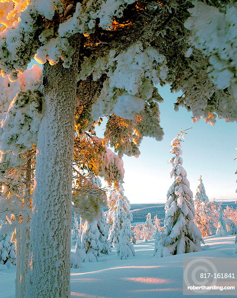 Elements Forest, Forest landscape, spruce forest, pine forest, winter, snow, cold, Vasterbotten, Sweden