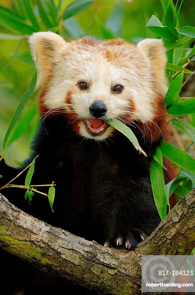 Portrait of red panda (Ailurus fulgens) feeding on bamboo leaves, captive, red list of endangered species