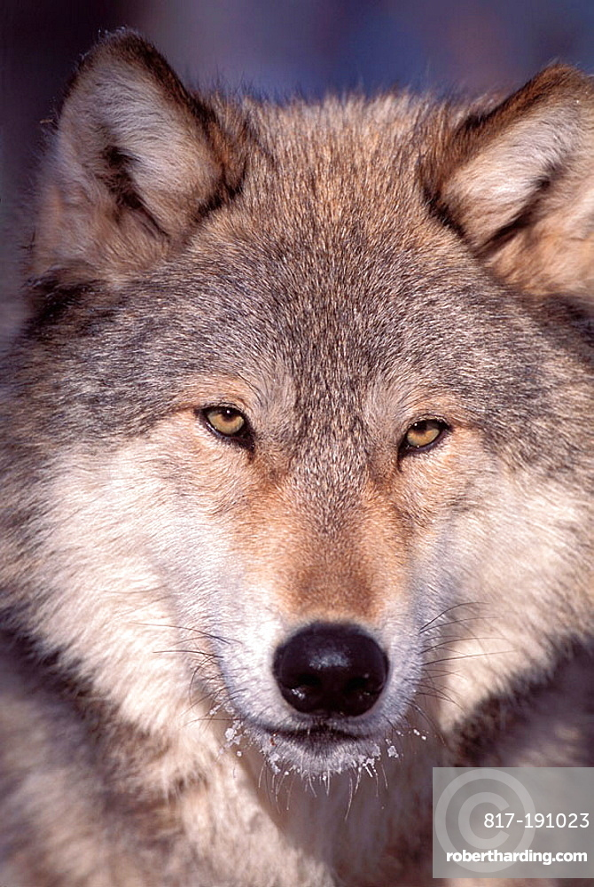 Portret of a  Gray Wolf (Canis lupus) also spelled Grey Wolf, also known as Timber Wolf,is a mammal in the order Carnivora, The Gray Wolf shares a common ancestry with the domestic dog