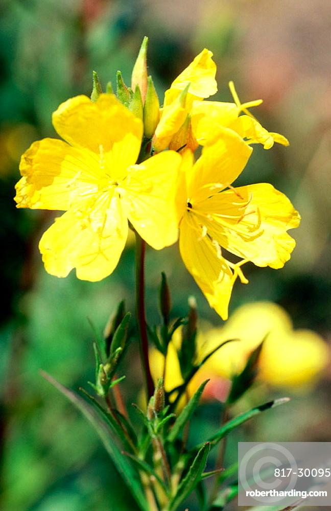 Evening primrose (Oenothera sp.)