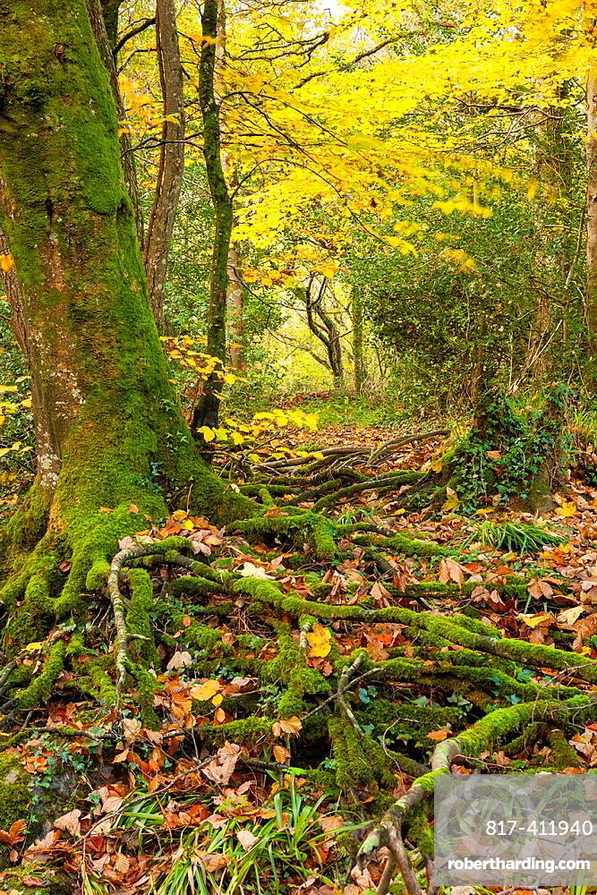 Dunsford Wood in autumn in the Dartmoor National Park, Devon, England, UK, Europe
