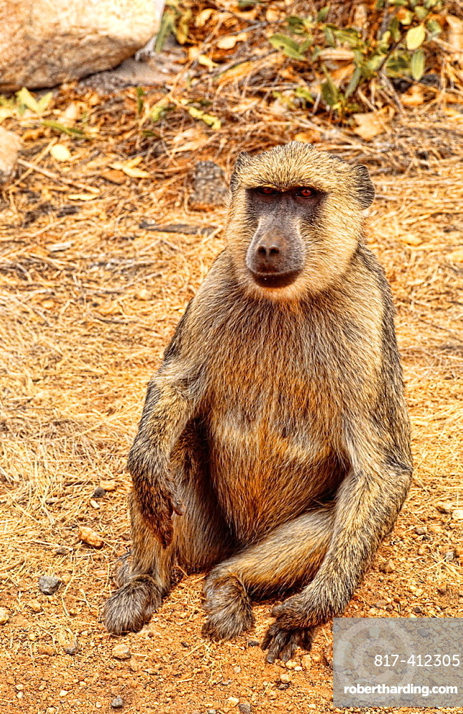 Lonely babboon by road in Kenya Africa