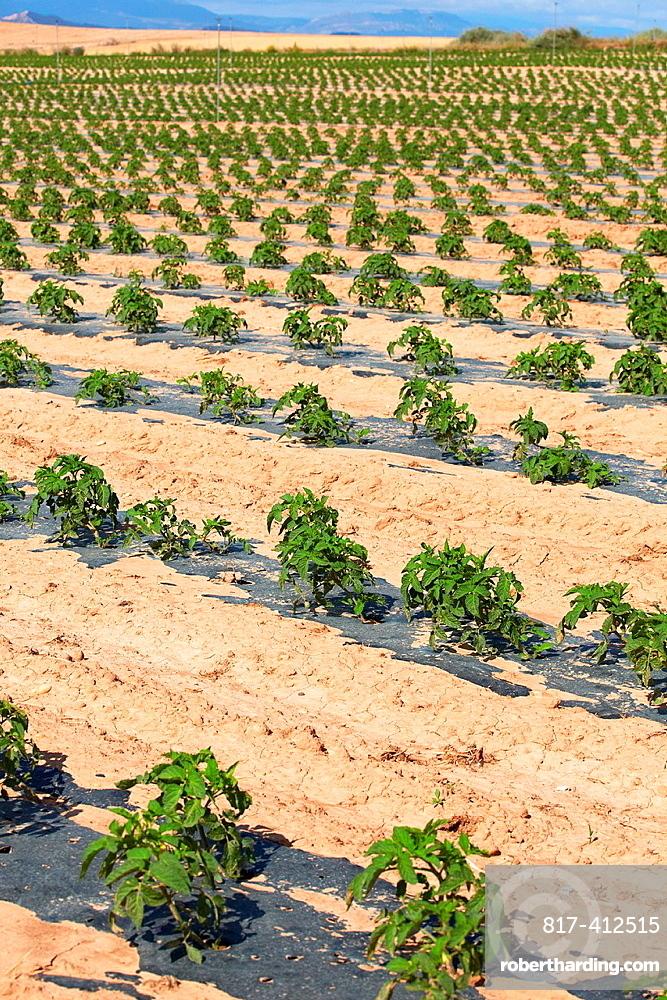 Pepper growing fields, Agricultural fields, High Ribera, Arga-Aragon Ribera, Navarre, Spain.