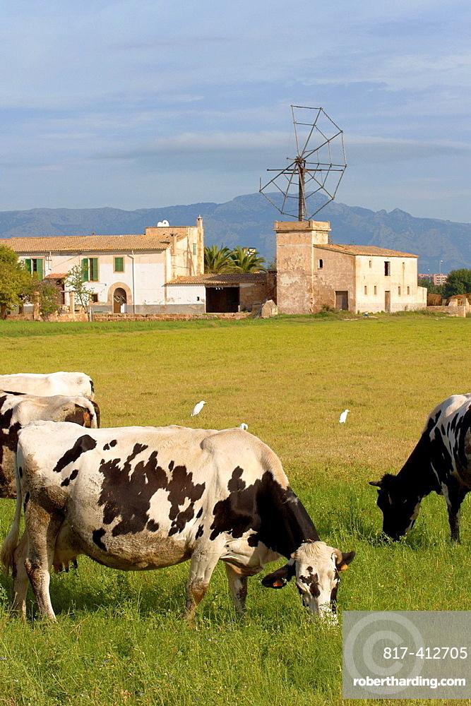 Cows grazing Es Molinar Palma Mallorca Balearic Islands Spain