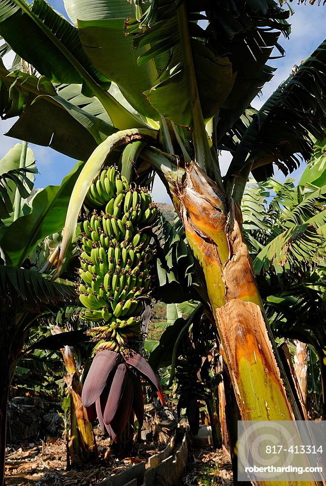 Banana Plantation, North Coast, Tenerife, Canary Islands, Atlantic Ocean