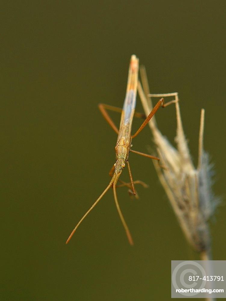 Stilt bug, Berytidae, Crete