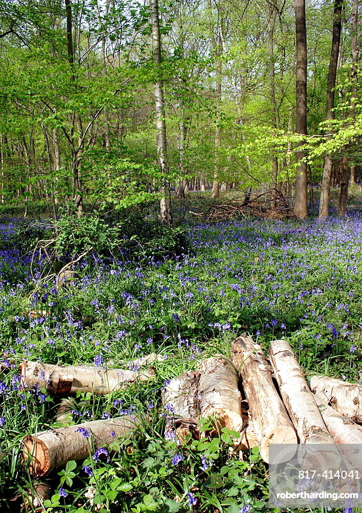 Spring trees and bluebells Oxfordshire