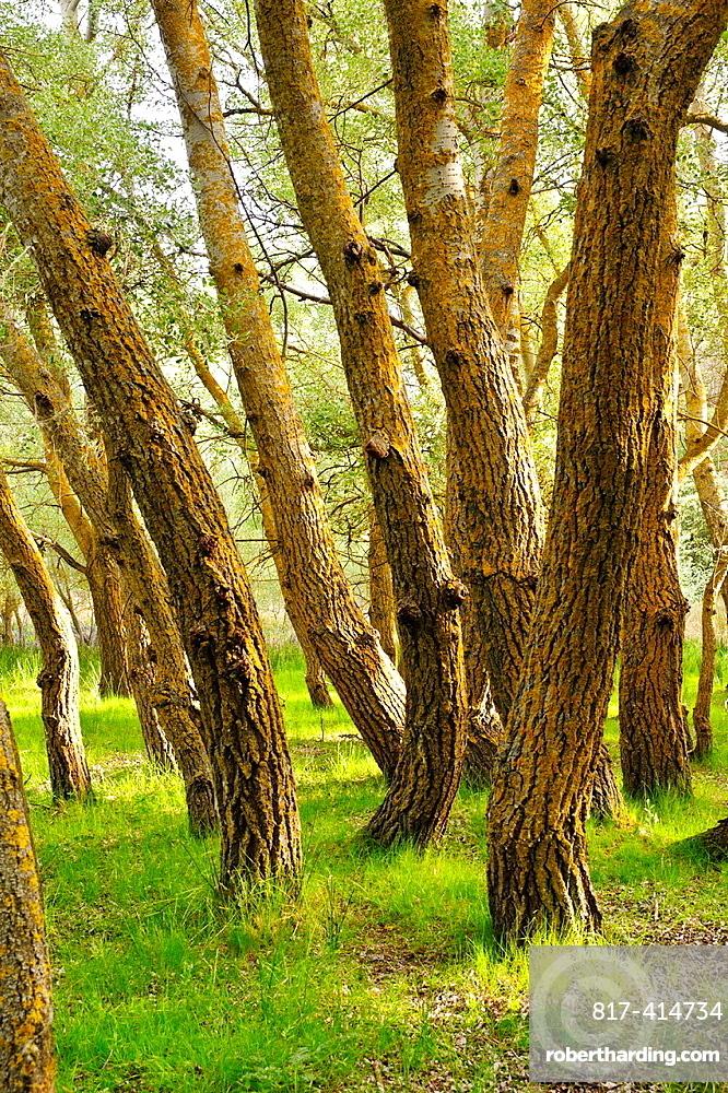 White Poplars (Populus alba) Higueruela Albacete.