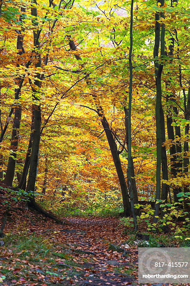 Forest and colorful leaves in autumn, Harz, Germany, Europe