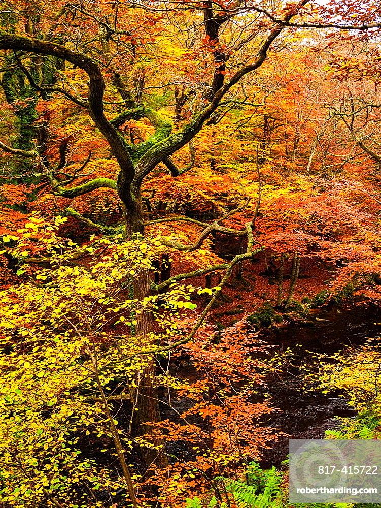 Autumn colour in woodland by the River Teign in Dartmoor, Drewsteignton, Devon, England