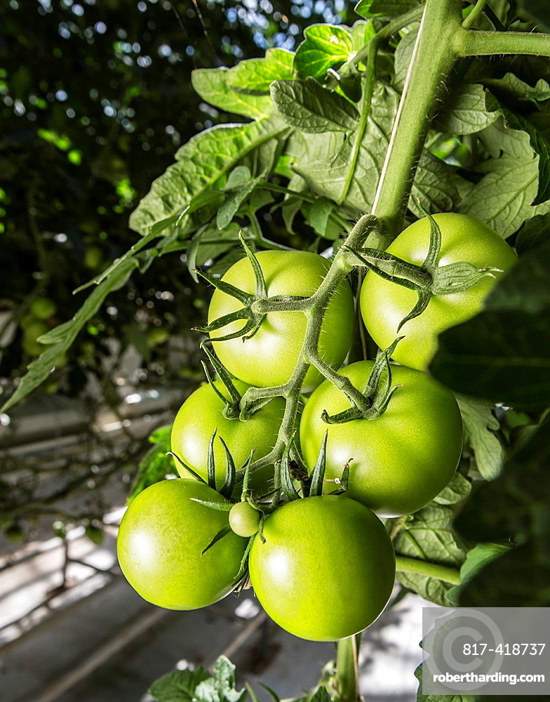 Tomatoes growing in greenhouse, Iceland Greenhouses are heated with geothermal energy keeping the cost of energy affordable and clean