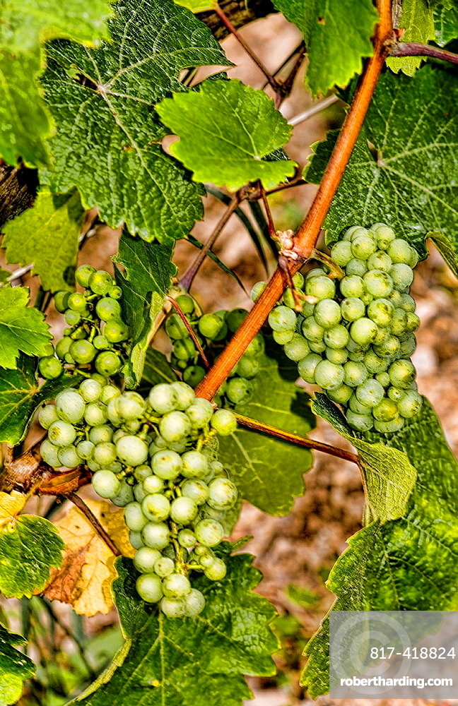 Close up of Rhine Grapes in vineyard near Bacharach Germany