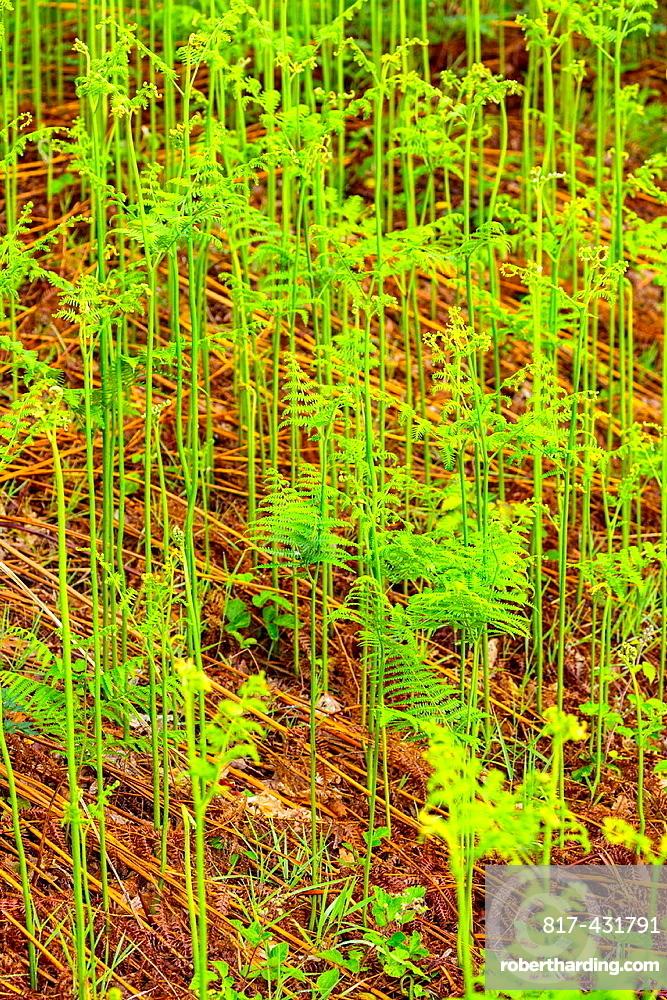 Ferns, Fuentes del Narcea, Degana e Ibias Natural Park, Asturias, Spain, Europe.