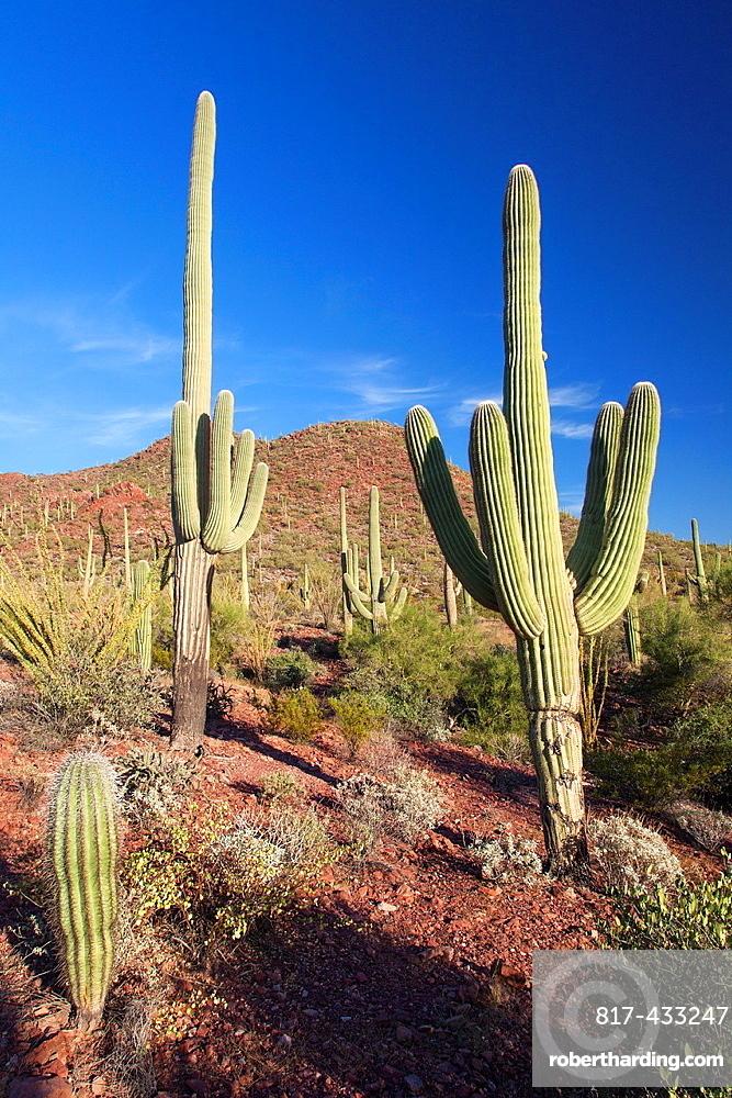 Giant Cacti in Saguaro N P , Arizona, USA