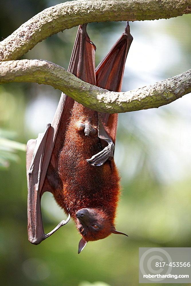 Malayan flying fox, or fruit bat in Singapore Zoo. Scientific name: Pteropus vampyrus.