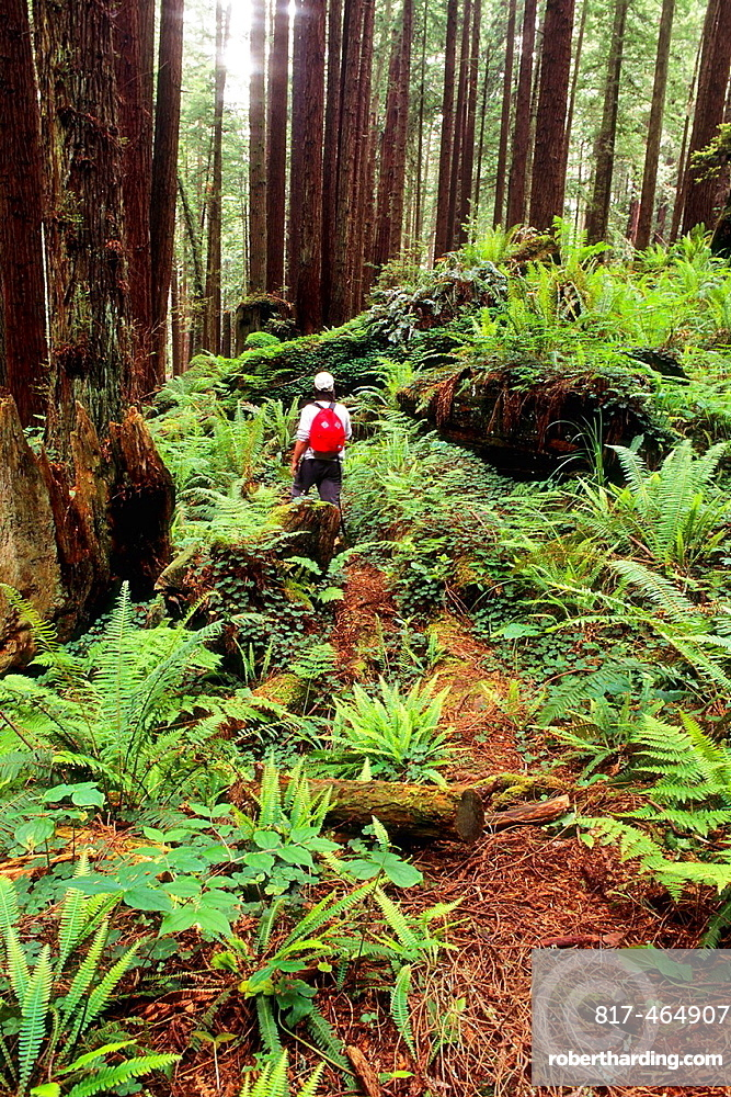 Hiker in redwood forest, Redwood Park, Arcata, Humboldt County, California.
