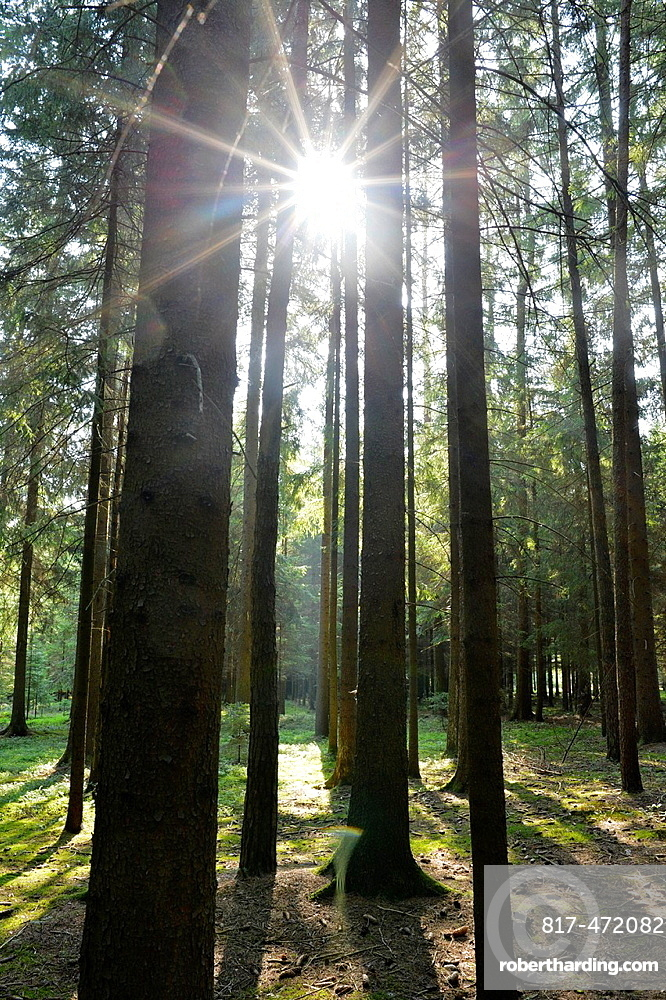 Landscape of Norway spruce (Picea abies) tree trunks against the sun in a forest in autumn, Upper Palatinate, Bavaria, Germany