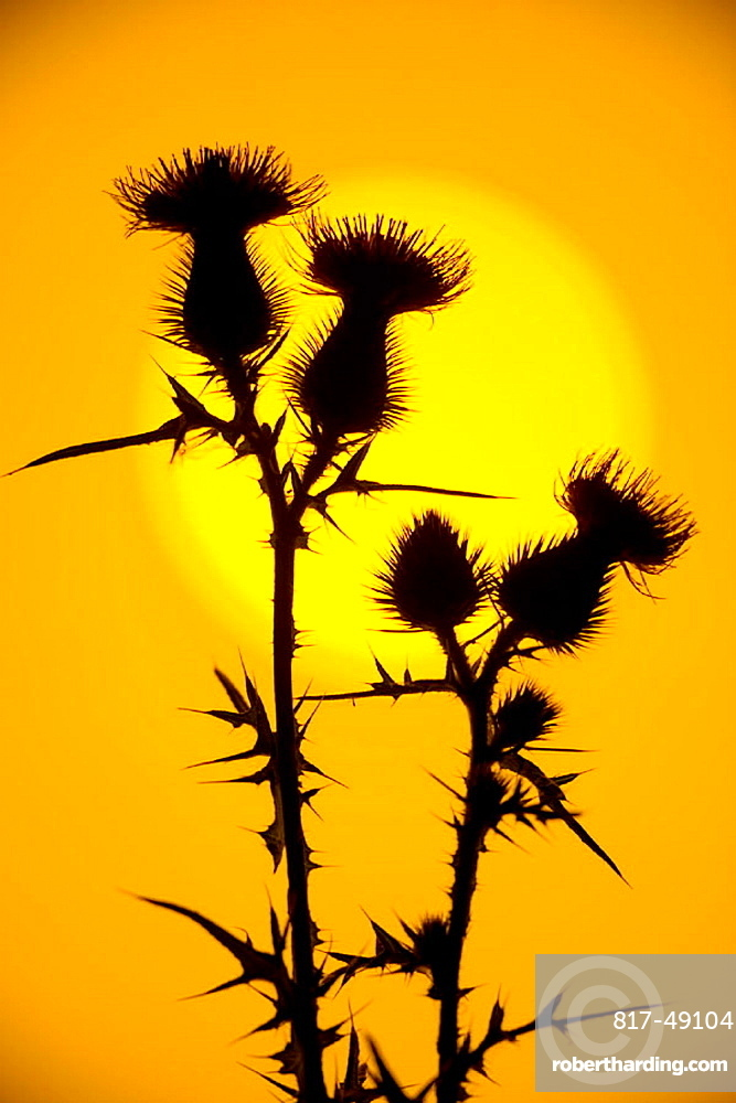 Scottish Thistle (Cirsium vulgare) Emblem of Scotland