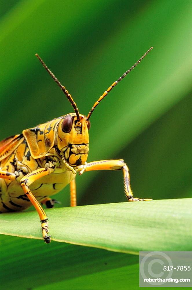 Lubber Grasshopper (Romalea microptera), Florida, USA