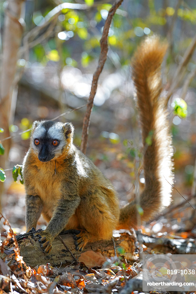 Red-fronted lemur (Eulemur rufifrons) female, Reserve Forestiere de Kirindy, Kirindy Forest, Western Madagascar, Africa