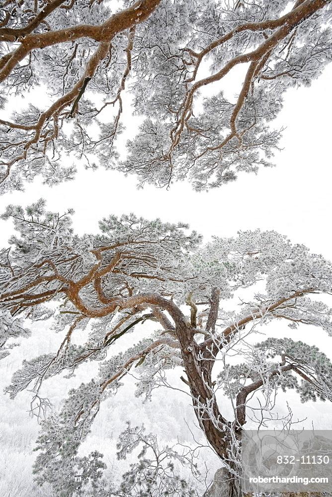 pine (Pinus) in Winter