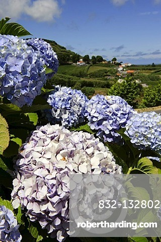 Hydrangea (Hydrangea) in Remedios on the island of Sao Miguel, Azores, Portugal