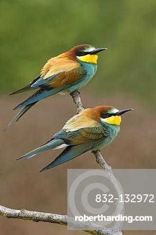 Bee-eaters (Merops apiaster), Pinkafeld, Burgenland, Austria, Europe