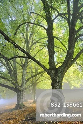 Large-leaved Linden or Large-leaved Lime (Tilia platyphyllos), avenue in late summer