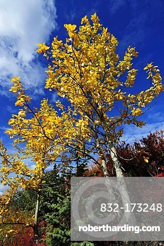 Aspen trees with autumn colours, Denali National Park, Alaska, USA