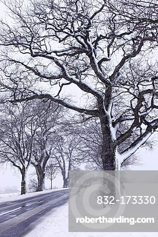 English oak tree parkway (Quercus robur), icy road in winter with heavy snowfall, Naturdenkmal Grabauer Eichen-Allee nature monument, Grabau, Kreis Stormarn district, Schleswig-Holstein, Germany, Europe