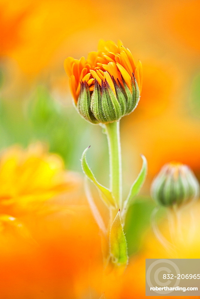 Marigold (Calendula officinalis) flower preparing to open