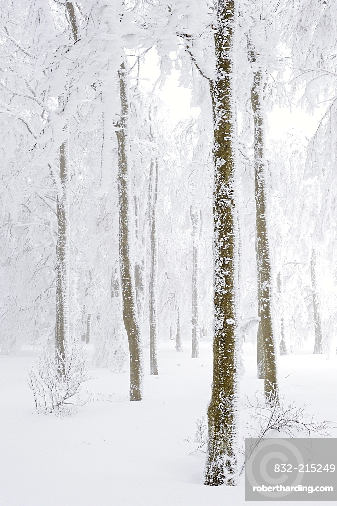 Snow-covered Copper Beech (Fagus sylvatica), Kandel, southern Black Forest, Baden-Wuerttemberg, Germany, Europe