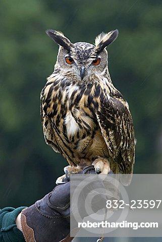 Eurasian Eagle Owl (Bubo Bubo) perched on falconer's hand, Wolfspark, Gerolstein, Vulkaneifel, Germany, Europe