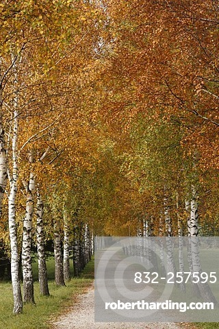 Birch-lined alley in the Tragoesstal Valley, Tragoess, Styria, Austria, Europe