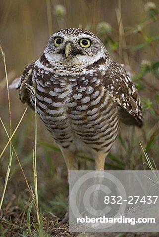 Athene cunicularia Burrowing Owl
