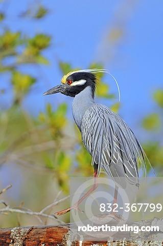 Yellow-crowned Night Heron (Nyctanassa violacea, Nycticorax violaceus), Sanibel Island, Florida, USA
