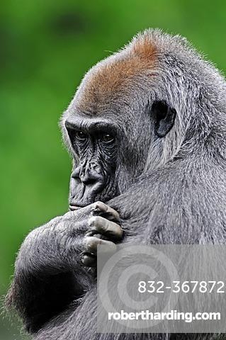 Western Lowland Gorilla (Gorilla gorilla gorilla), female grooming, African species, captive, North Rhine-Westphalia, Germany, Europe