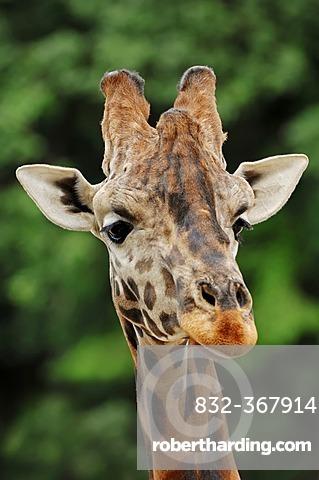 Rothschild giraffe (Giraffa camelopardalis rothschildi), portrait, found in Africa, captive, France, Europe