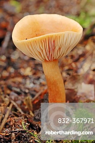 Birch milkcap (Lactarius tabidus, Lactarius thejogalus, Lactarius theiogalus), Hoge Veluwe National Park, the Netherlands, Europe