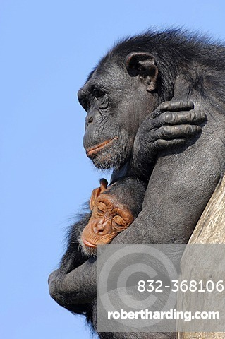 Chimpanzee (Pan troglodytes), female with young, native to Africa, in captivity, Netherlands, Europe